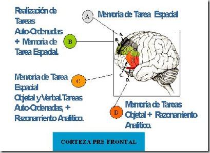 corteza prefrontal_thumb[2]